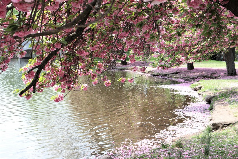 Image of cherry blossoms along a lake with petals strewn about