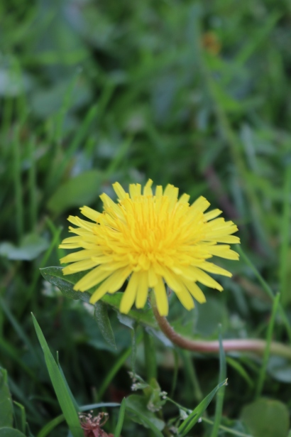 Yellow Dandelion Image by My Li'l Place